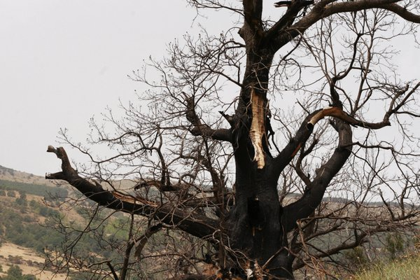 The Charred Tree of Bubion thumbnail