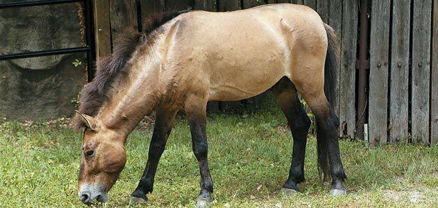 a Przewalski horse