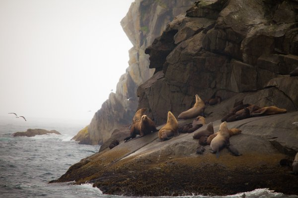 Sea Lions family down of the cliff thumbnail