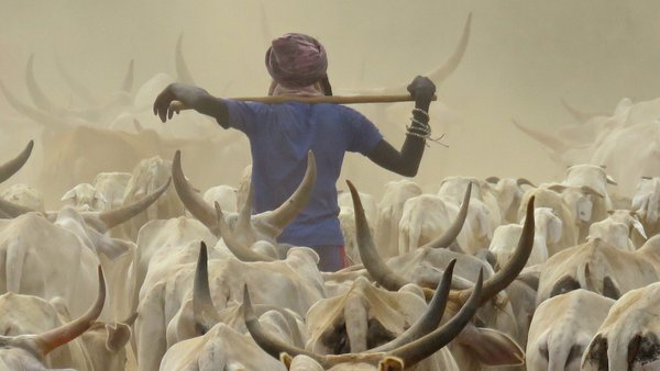 Cowherd with white cows in Senegal thumbnail