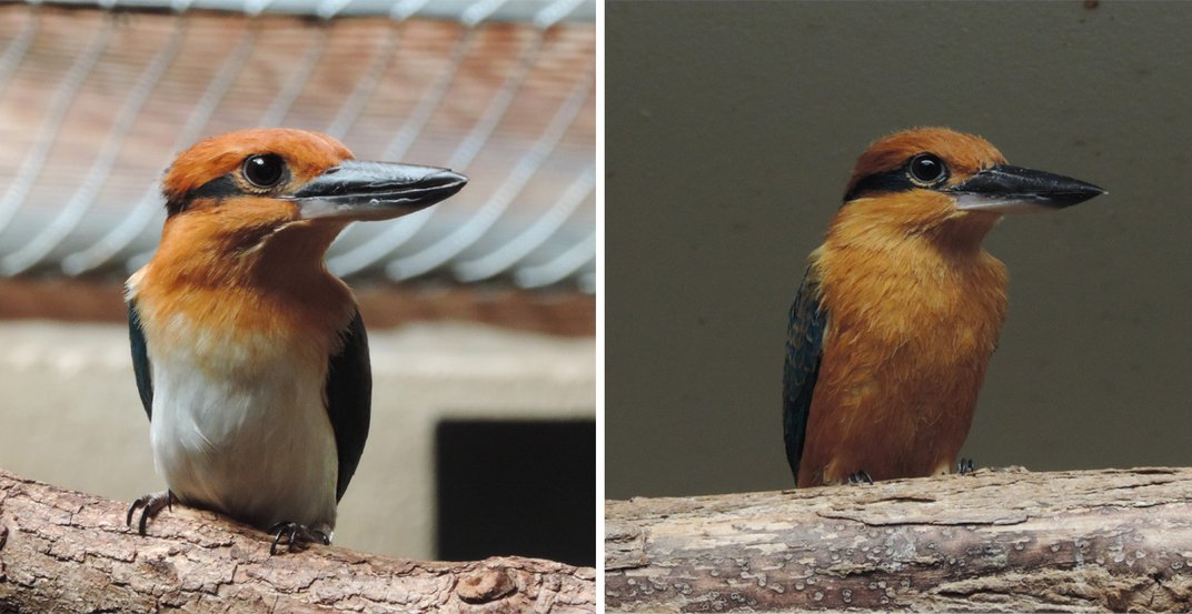 Female Guam kingfisher Giha (left) and male Guam kingfisher Animu (right). These small birds have colorful feathers and wide, flat bills. Both birds are perched on tree branches.