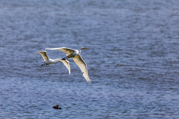 Egret chasing the other out of its territory thumbnail