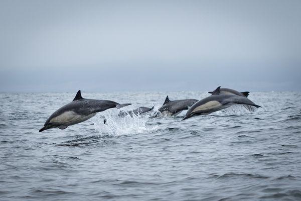 Dolphins jumping thumbnail