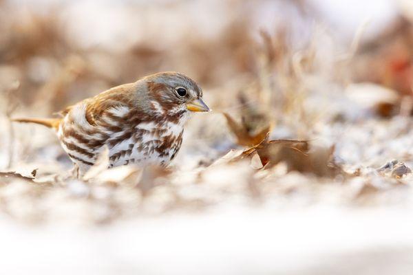 Fox Sparrow thumbnail