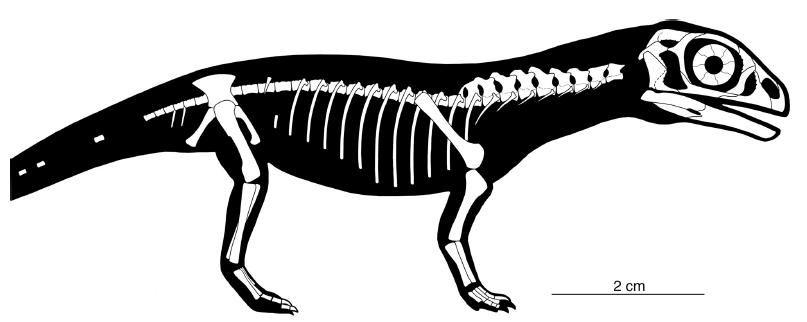 20110520083301Massospondylus-skeleton.jpg