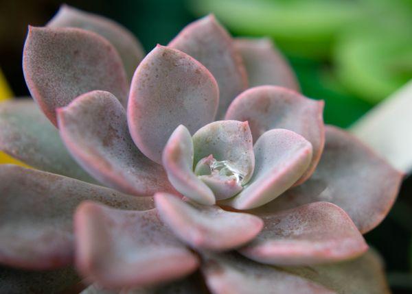 Dew Drop on a Succulent thumbnail