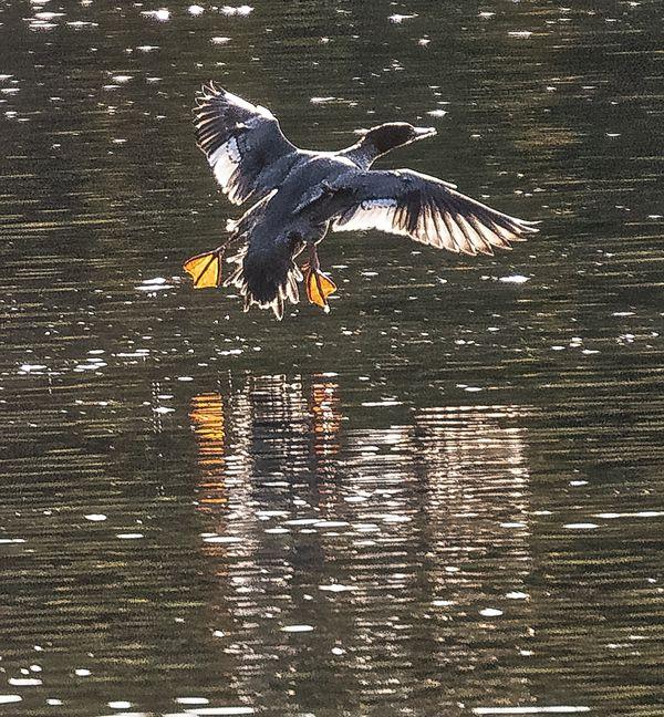 Common Merganser female taking off thumbnail