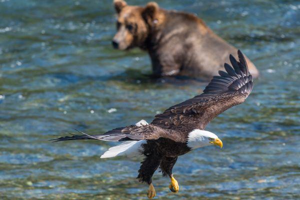 Bald eagle and brown bear at Katmai National Park thumbnail