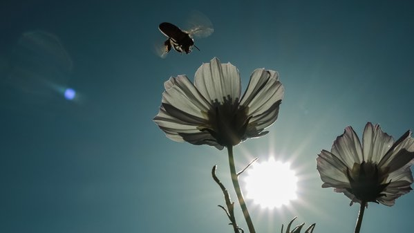 A bee gather nectar from flowers against the light thumbnail