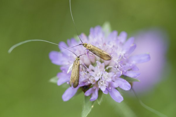 Brassy Long-horn, Nemophora metallica. Males engaging in territorial battle. thumbnail