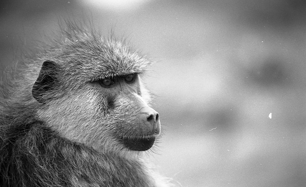 Baboons Are Ruthless Reproducers