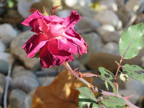 rose in late Autumn thumbnail