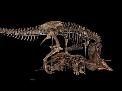 Students and teachers can download 3-D print-ready files of the Tyrannosaurus rex and Triceratops skulls.
