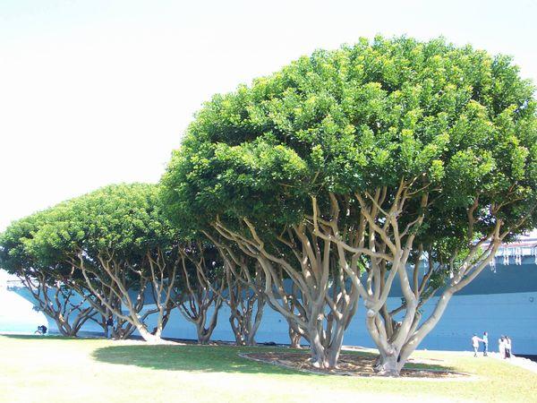 Banyan Trees, Midway aircrat carrier San Diego harbor thumbnail