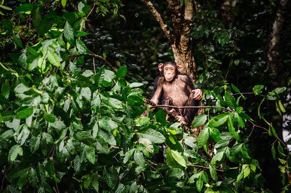 Chimp on a tree thumbnail