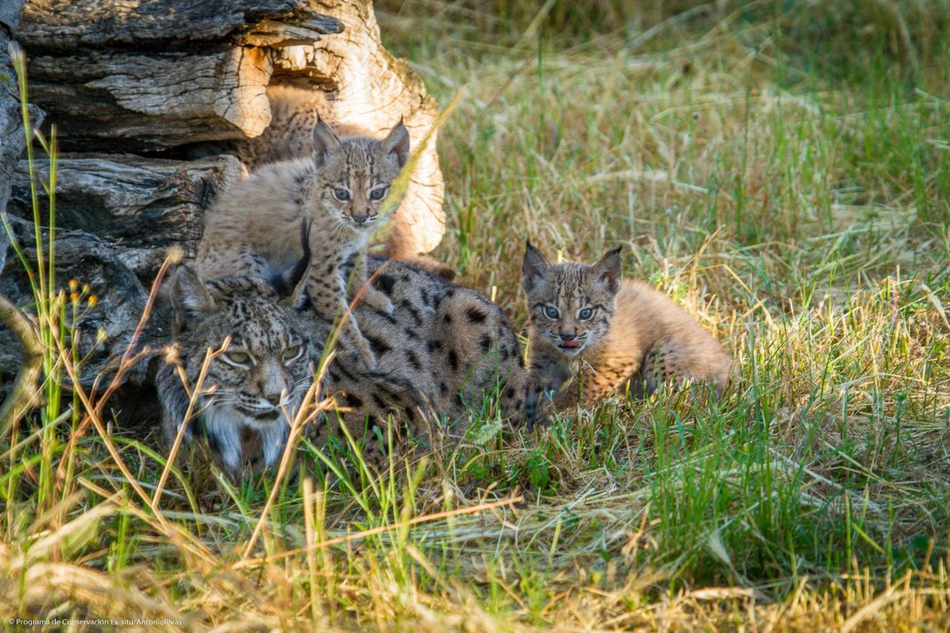How the Iberian Lynx Bounced Back From the Brink of Extinction