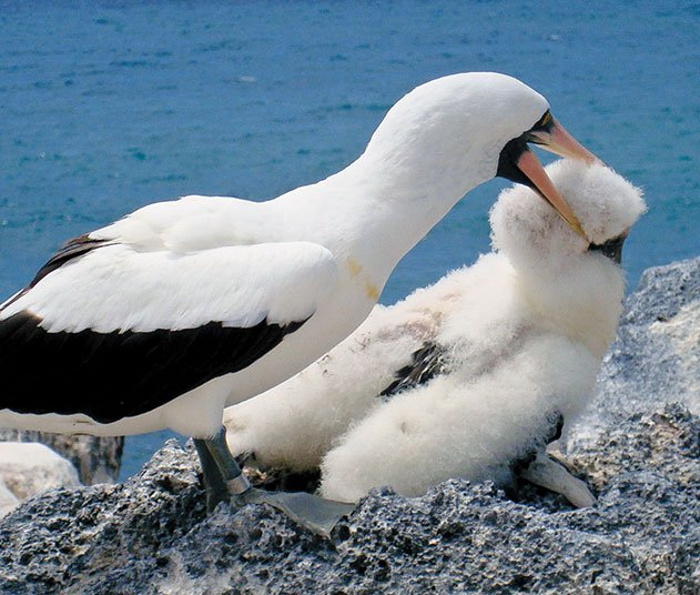 This adult Nazca booby
