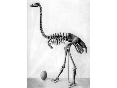 Humans once lived alongside megafauna such as this elephant bird, giant lemurs, dwarf hippos and giant tortoises on Madagascar.