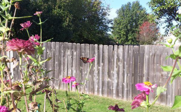monarch on back patio thumbnail