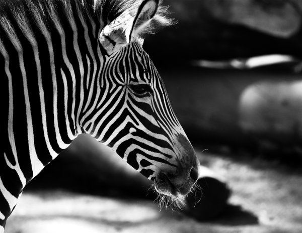 A young Grevy's zebra in the Los Angeles Zoo thumbnail