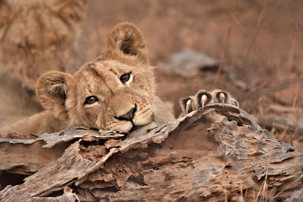 Lioness cub relaxing in Kruger National Park thumbnail