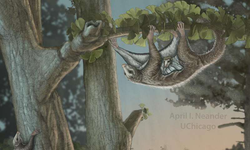 Exceptional Fossils Show Ancient Winged Mammals May Have Glided Above the Dinosaurs