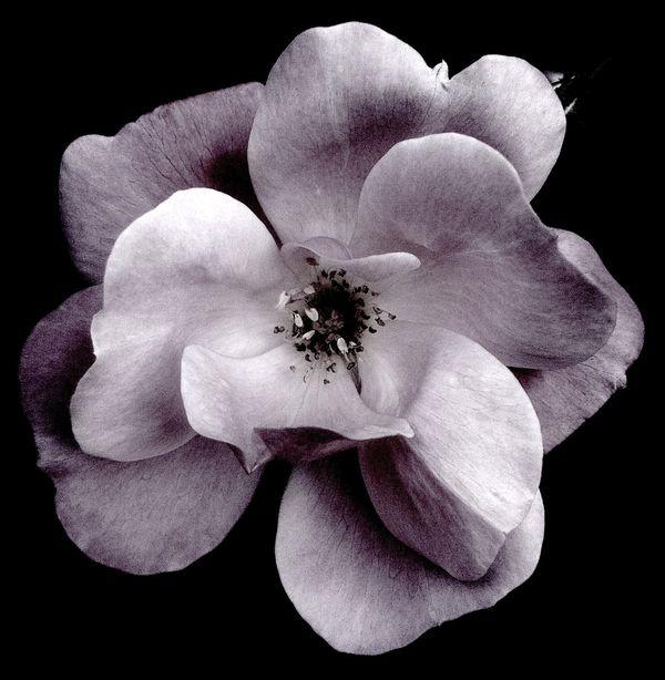 Fleur Noire thumbnail
