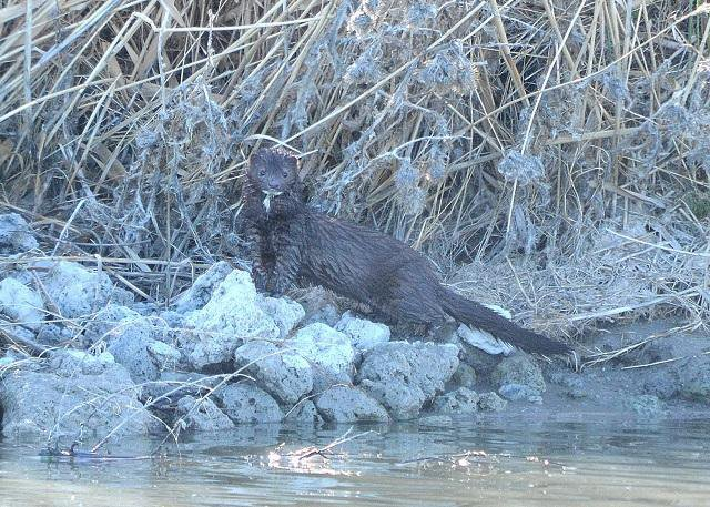 Wet mink on the rocky marsh shore with vegetation behind it with coloring altered in photo.