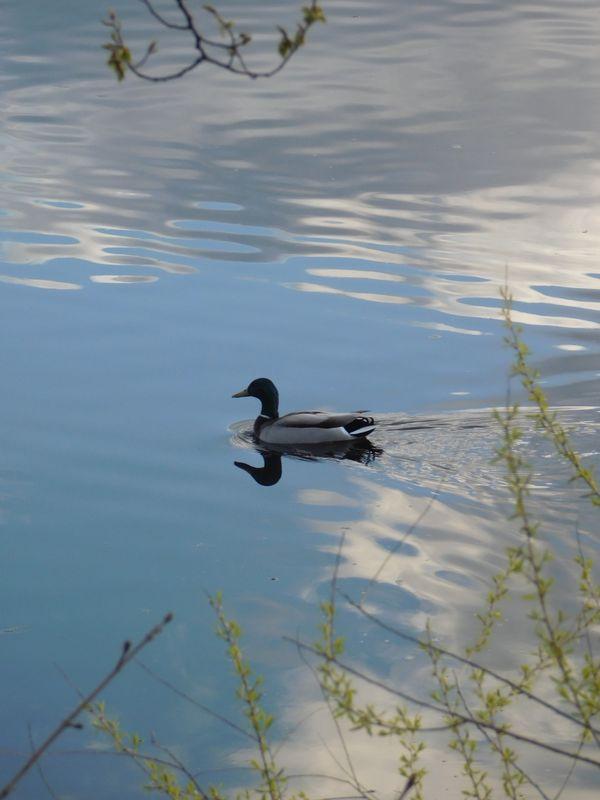 Duck Reflection thumbnail