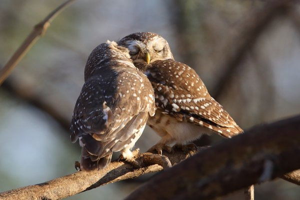 Spotted Owl Pair Preening Each Other thumbnail