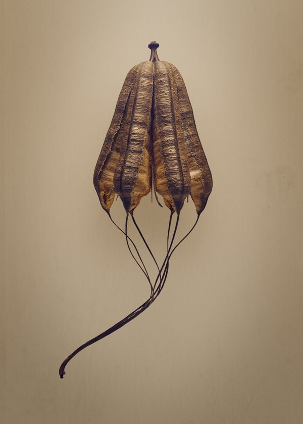 Dutchman's Pipe (Aristolochia macrophylla) thumbnail