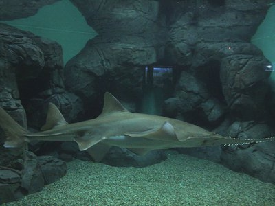 Reports found that critically endangered largetooth sawfish are sometimes passed off as shark in some fish markets.
