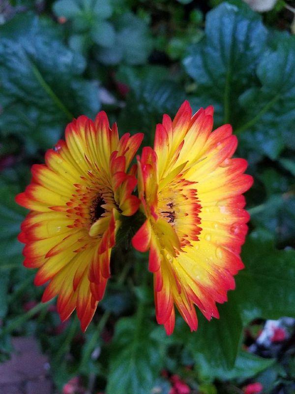 Twin Gerbera Daisies Caught My Eye While Tending To My Garden thumbnail