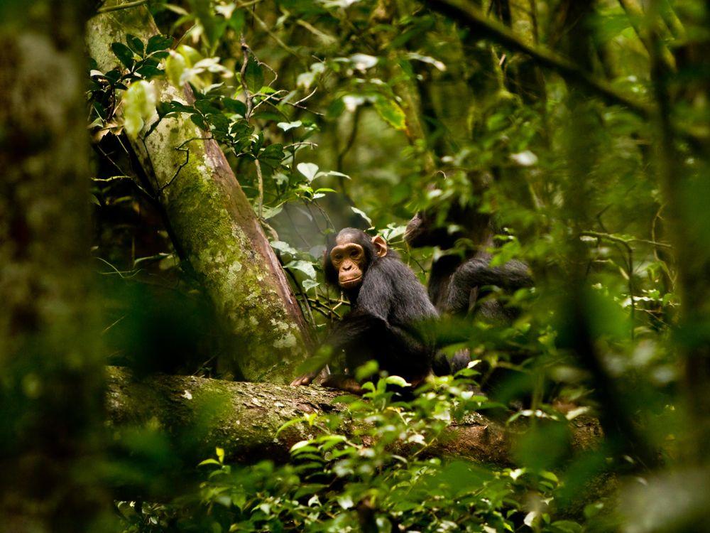 Pouting Chimp