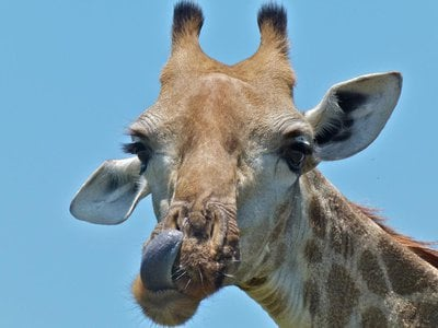 A giraffe skin disease was first described in the mid-1990s in Uganda and evidence of the disease has been spotted in numerous other countries, including Namibia, Zimbabwe and Botswana.