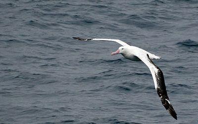 The winged albatross