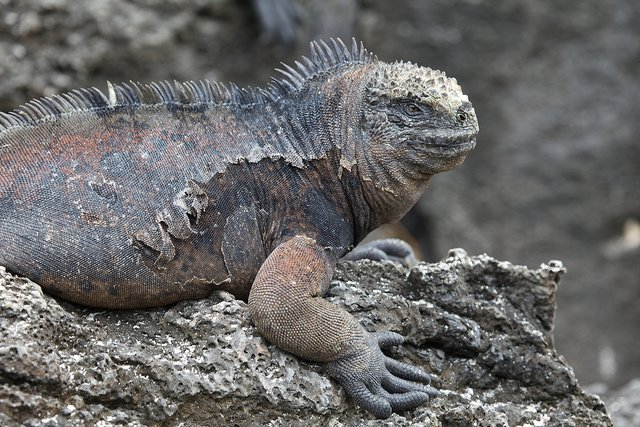 Invasive brown and black rats feed on the eggs of the Galapagos land iguana.