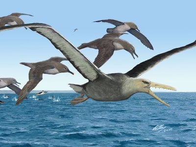 A pelagornithid, likely the largest flying bird that ever lived, soared over the open ocean.