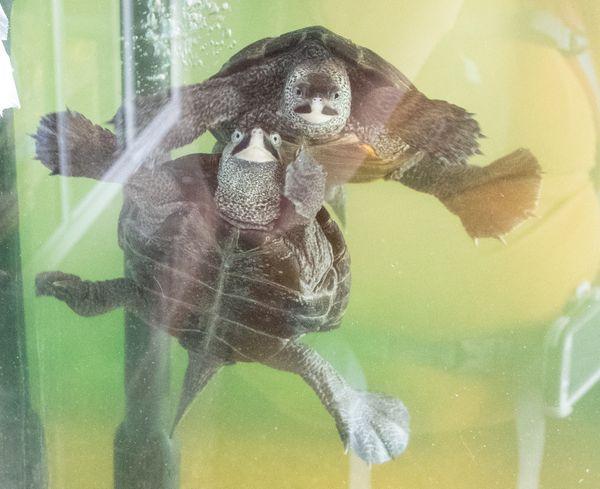 Turtles in an Aquarium thumbnail