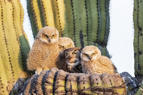 Great Horned Owl Mother and Her Chicks thumbnail
