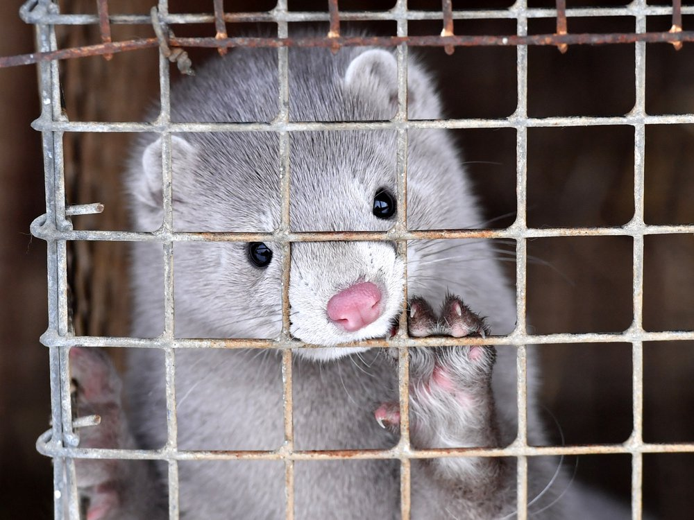 A gray mink with a pink nose raises its paw onto the mesh of its cage where it was bred in Belarus