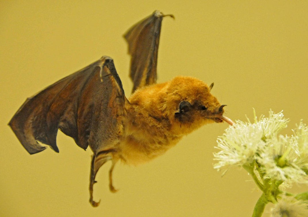 A bat sipping nectar from a flower.