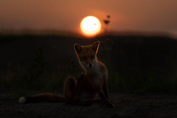 Sunset Fox thumbnail