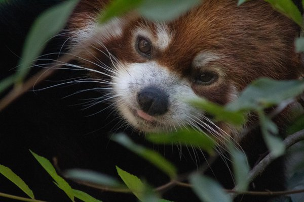 Red Panda Glimpse thumbnail