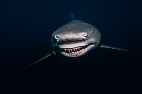 Lemon shark portrait thumbnail