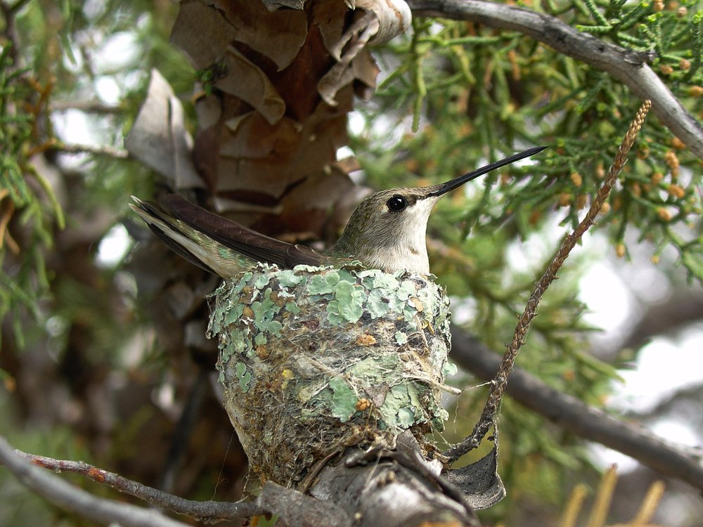 hummingbirdhawks