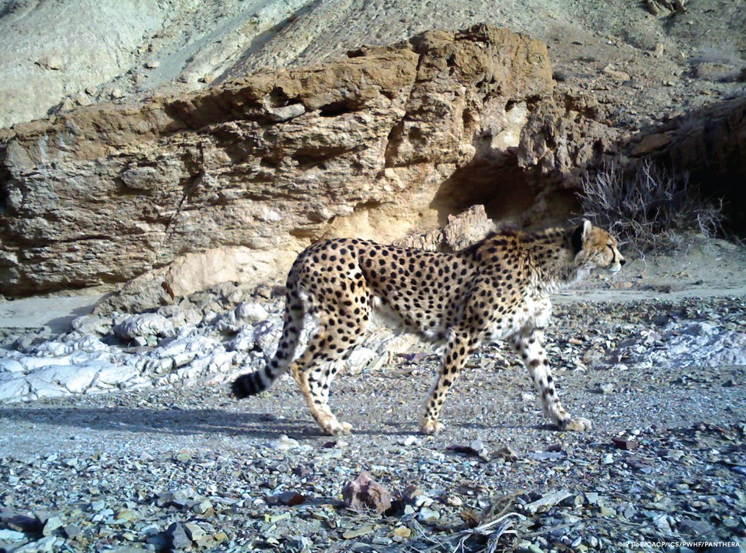 Poaching Isn't the Cheetah's Only Problem