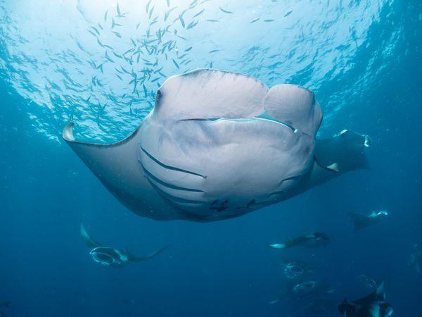 Reef Manta ray thumbnail