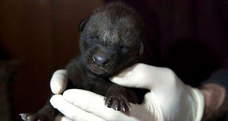 20120131020002wolfpup-zoo-baby-1-small.jpg