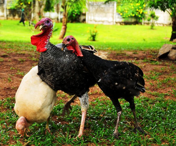 Guinea fowl stepping over themselves for a picture. thumbnail
